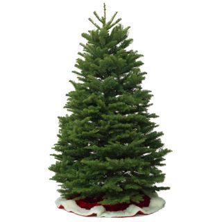 10 11 ft Fresh Noble Fir Christmas Tree